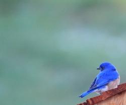 Misty Morning Bluebird
