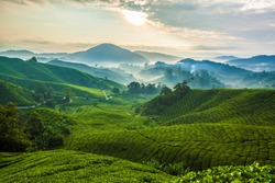 Misty morning in Cameron Highlands tea plantation. 1
