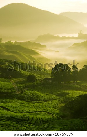 misty morning in tea farm at Cameron Highland Malaysia - stock photo