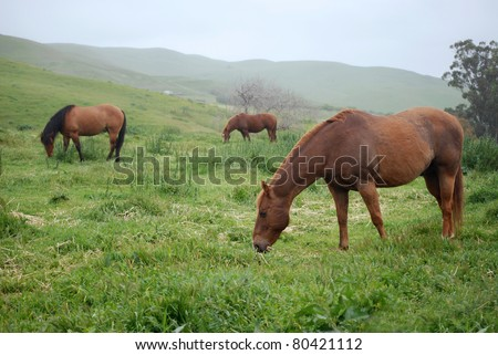 Misty Pasture. Quarter Horses grazing in Northern California pasture while it rains.