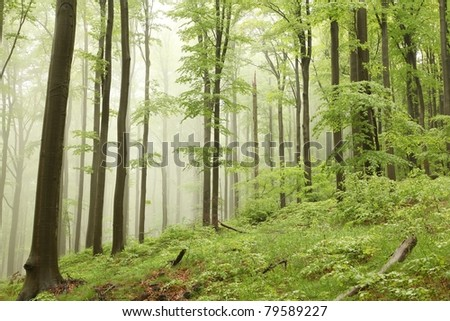 Misty spring beech forest on the mountain slope in a nature reserve.