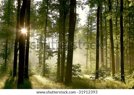 Misty spring forest in the early morning with sunbeams through the oak trees.