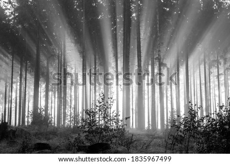 Misty spruce forest in the morning, monochrome, black and white. Misty morning with strong colorful sun beams in a spruce forest in the Rothaargebirge, Germany.