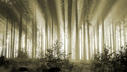 Misty spruce forest in the morning, monochrome, sepia. Misty morning with strong colorful sun beams in a spruce forest in the Rothaargebirge, Germany.