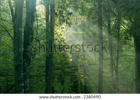 Misty sunrise  in the forest,early summer