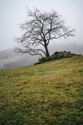 Misty view of a lonely tree on a pasture or meadow. Green grass pasture, autumn tree and mist around hills. Stand alone tree on a rocky a grass ground.