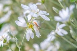 Misumena vatia is a species of crab spider.  White spider on the white flower. Flower mimicking crab spider.