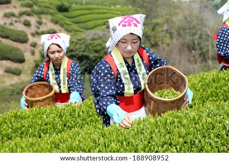 MITOYO KAGAWA, JAPAN - APRIL 23: Young japanese women with traditional clothing kimono harvesting green tea leaves on farmland of tea plantation on April 23, 2014 Mitoyo Kagawa, Japan.