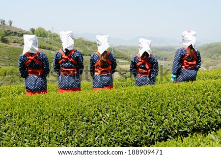 MITOYO KAGAWA, JAPAN - APRIL 23: Young japanese women with traditional clothing kimono harvesting green tea leaves on hill of tea plantation on April 23, 2014 Mitoyo Kagawa, Japan