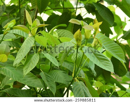 White Vein Kratom Tea Hornick