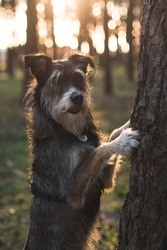 mix breed dog in the evening walking with sunset light