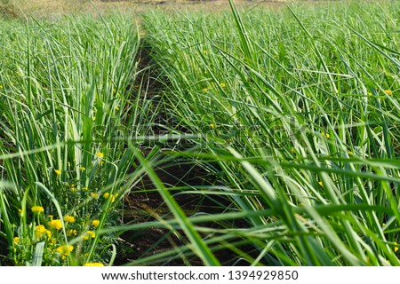 mix crops of sugarcane and marigolds. its new innovations in agriculture. Inter cropping. Crop rotation. #1394929850