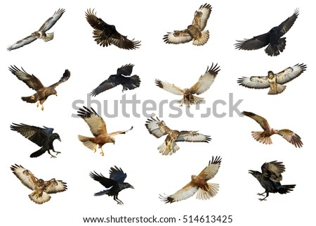 Shutterstock Mix flying Common Raven (Corvus corax), Common Buzzard (Buteo buteo) and Marsh Harrier (Circus aeruginosus) isolated on white background