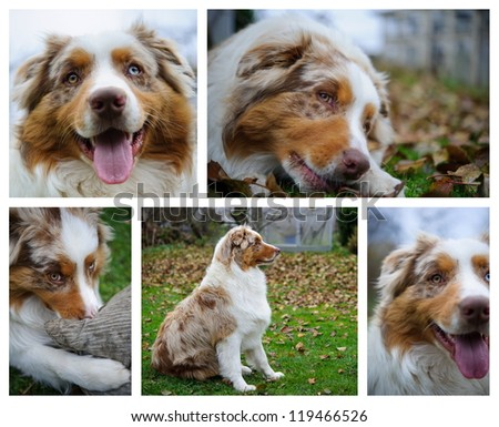 Mix of australian Shepherd photos with detail, portrait, closeup view and whole body