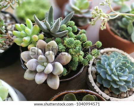 Mix of Flowering Echeveria, Sedum Succulent House Plants Arrangement pot Background