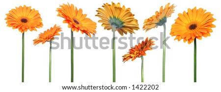 mix of 7 gerberas over clear white background