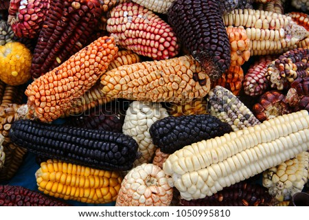 Mix of peruvian native variety of heirloom corns from local market in Cusco, Peru that show the biodiversity which is the staple food for Inca and Maya people around Central and South America