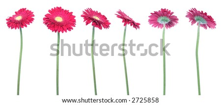mix of 6 red gerberas over clear white background
