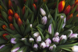 Mix of spring tulips flowers near grey wall. Flower background