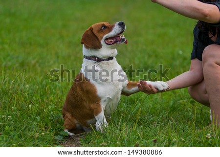 Mixed basset hound giving paw