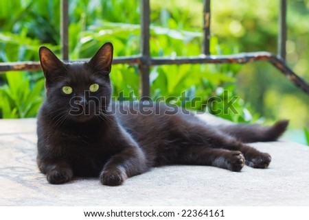 Mixed breed black cat