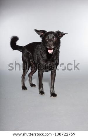 Mixed breed black dog. Studio shot isolated on grey background.