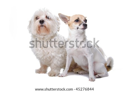 Italian+greyhound+chihuahua+mix