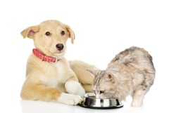 Mixed breed dog and cat eating together. isolated on white background