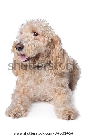 mixed breed dog,Basset Griffon and poodle,in front of a white background