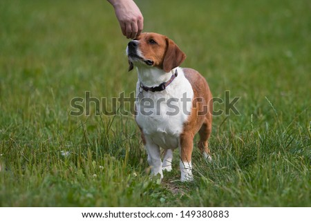 mixed breed dog, basset hound and beagle