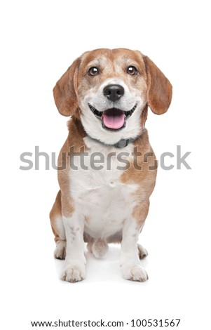 mixed breed dog. Beagle/Jack Russel Terrier