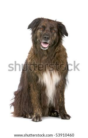 mixed breed dog. belgium shepherd dog and border collie dog #53910460