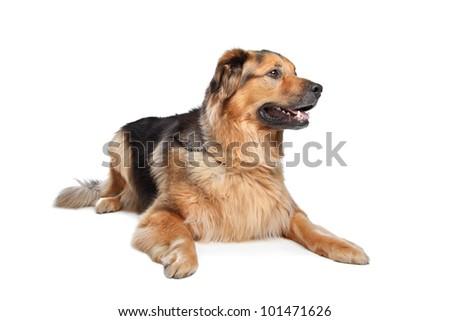 Mixed breed dog. Dutch Shepherd,Dogue de Bordeaux