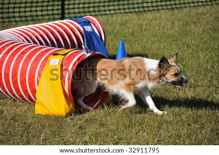Mixed-Breed Dog Exiting Red Agility Tunnel, copy space