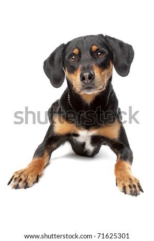 mixed breed dog, half Appenzeller Sennenhund