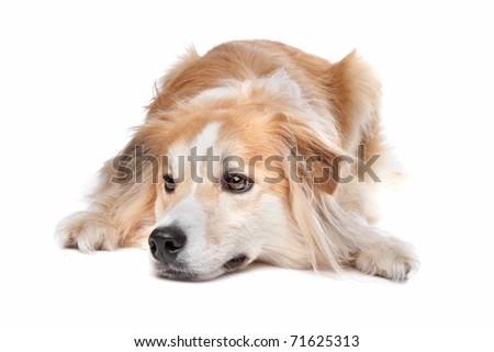 Golden Retriever Border Collie Mix Puppy