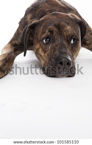 mixed breed dog isolated on a white background