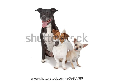 mixed breed dog, jack russel and a shih tzu isolated on white