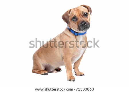 Mixed Terrier Breeds on Terrier Mixed Breed Lab Cross One Find Similar ...