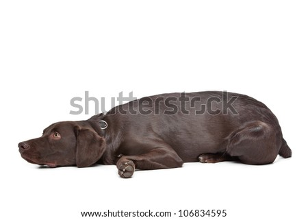 Mixed breed dog. Labrador,Munsterlander