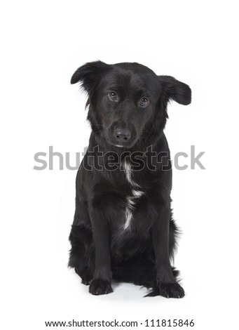 mixed-breed dog looking at camera at front of white background, Mixed-breed dog