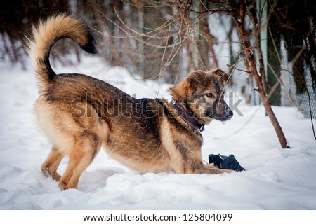 Mixed breed dog (7 mounth old) on the snow