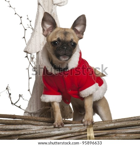 Mixed-breed dog puppy, 4 months old, in front of white background
