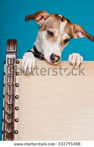 Mixed breed dog short hair brown and white looking curious over back of chair isolated on light blue background. Studio shot.