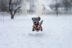 Mixed breed gray dog running fast in the snowy park