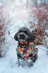 Mixed breed gray dog sitting near red bushes in the snowy park