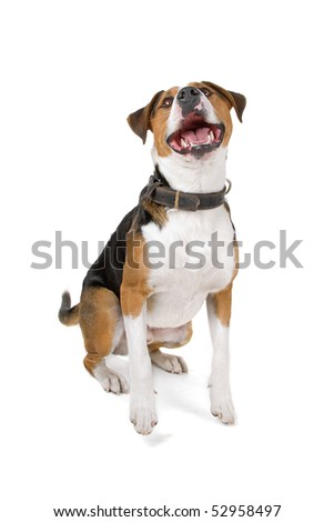 mixed breed ( jack russel/greater swiss mountain dog)isolated on a white background