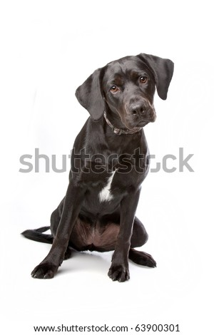 mixed breed lab cross - one year old isolated on white background ...