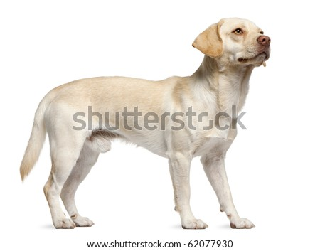 Mixed-breed, 12 months old, standing in front of white background