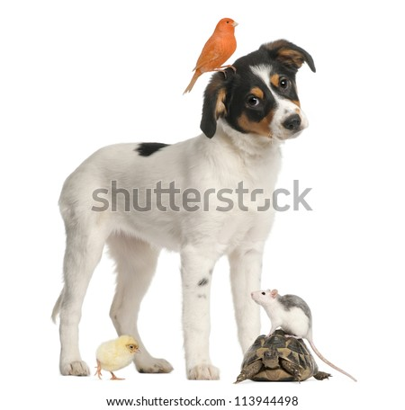 Mixed breed puppy, canary, chick, turtle and rat against white background